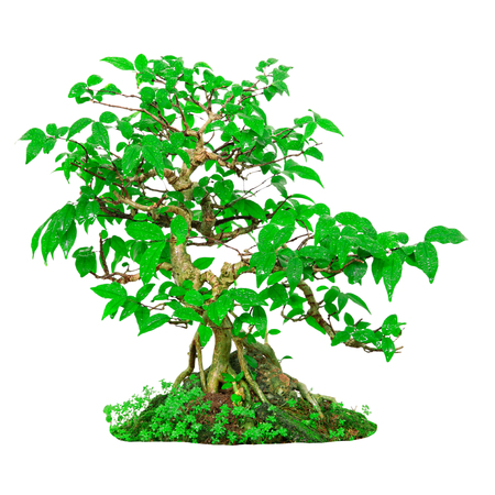 Fresh green bonsai isolated on white background