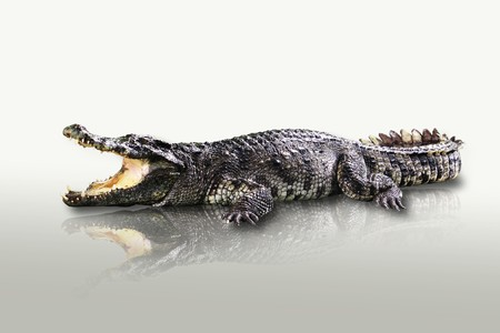 cold blooded: Crocodile isolated