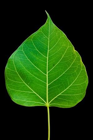 linde: Pipal Leaf auf schwarzem Hintergrund
