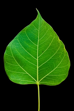 Pipal leaf on black background photo