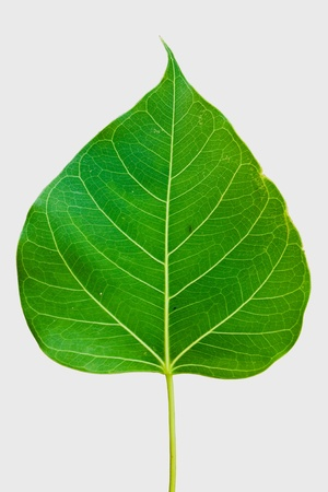 Pipal leaf on white background