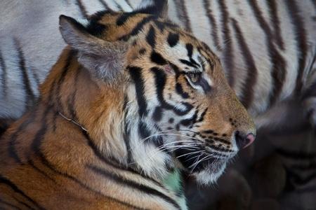 Tiger Stock Photo - 8434831