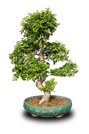 Bonsai tree isolated on white background Standard-Bild