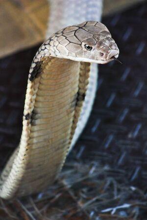 Cobra snake photo