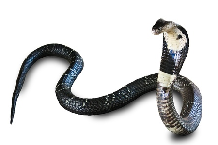 Cobra snake isolated on white background Banque d'images