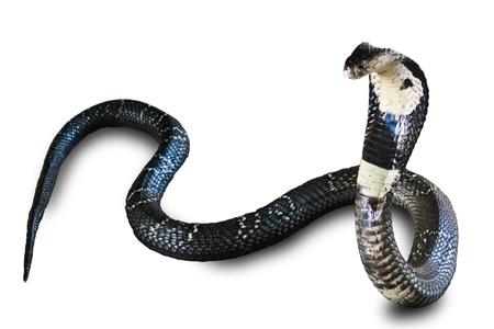 cobra: Cobra snake isolated on white background Stock Photo