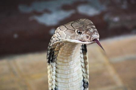 serpiente cobra: Serpiente cobra