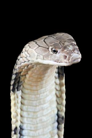 cobra: Cobra Foto de archivo
