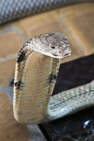 egyptian cobra: Cobra Archivio Fotografico