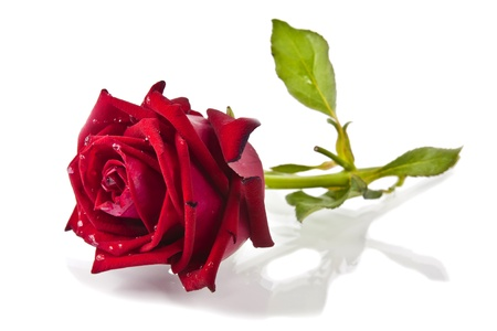 Red rose isolated on white background Standard-Bild