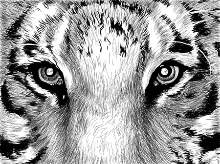 Sketch picture in black and whiite eyes of tiger photo