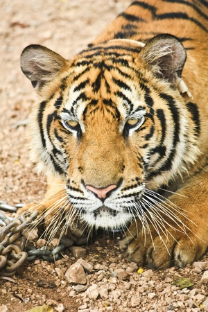 Yellow tiger with chain in zoo photo