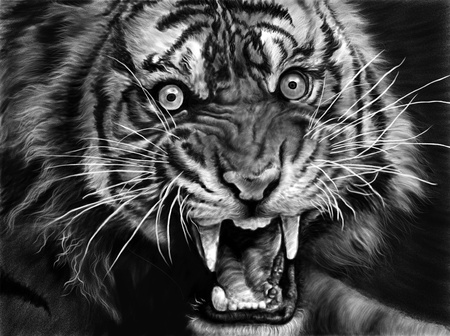 tiger white: Sketch of wild tiger in black and white