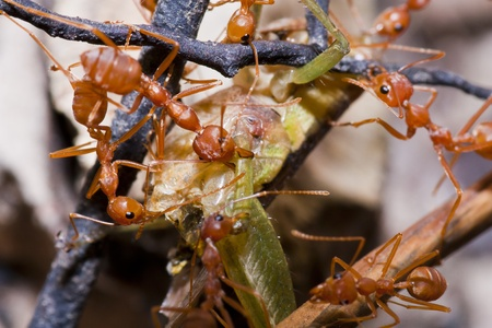 Ants and victim grasshopper in macro mode Stock Photo - 11424551