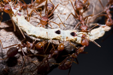 Ants and victim worm in macro mode Stock Photo - 11424567
