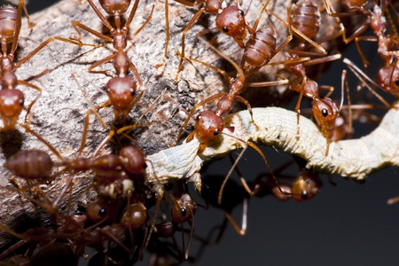 industrious: Ants and victim worm in macro mode Stock Photo