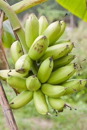 Banana fruit on banana tree photo