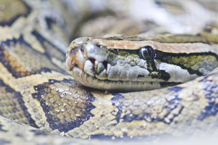 Eye of snake ,python snake photo