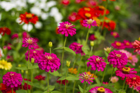 Flores de color rosa zinnia con foco superficial photo