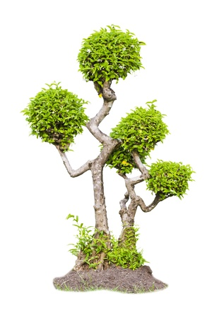 Bonsai tea tree isolated on white background  photo