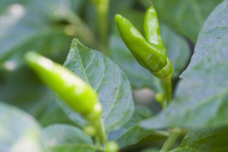 bush pepper: Green chili tree in close up mode Stock Photo
