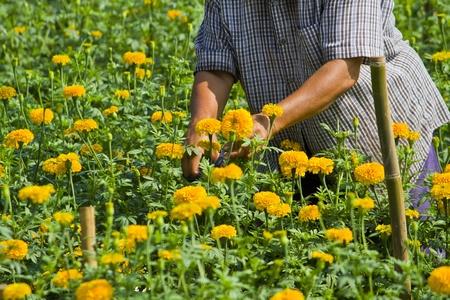 garden marigold: Gardener in Marigold flower garden