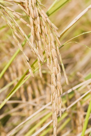 paddies: Rice plants in rice farm Stock Photo