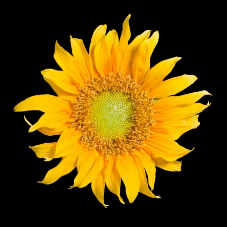 Sunflower isolated in black background photo