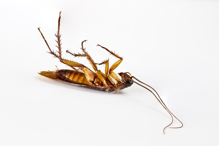 Dead cockroach on white background Banque d'images