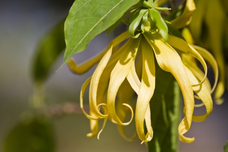 Ylang - Ylang Flower in macro mode Stock Photo