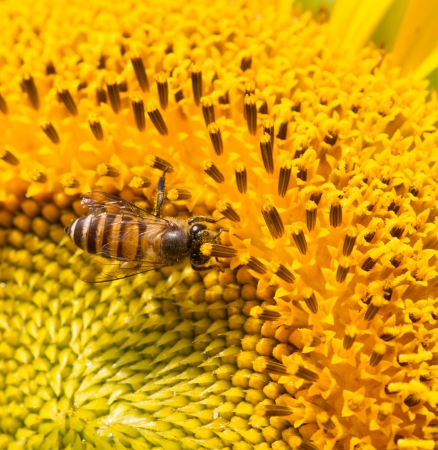 Sunflower and bee with macro lens Stock Photo