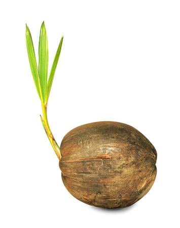coconut seedlings: Sprout of coconut tree isolated.