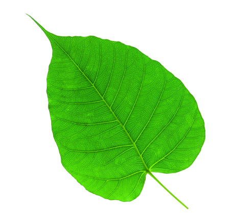 Bodhi or Sacred fig leaf on white background Reklamní fotografie