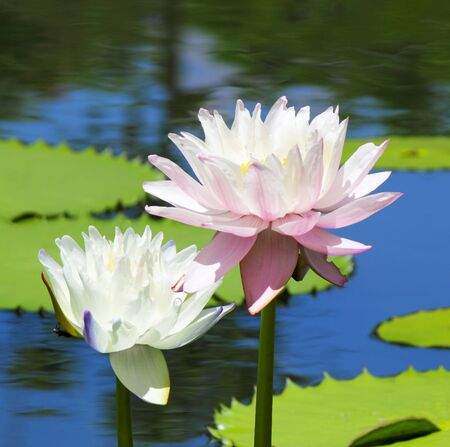 Beautiful lotus flower in the River background photo