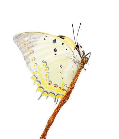 White butterfly isolated on white background photo