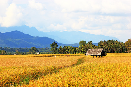 Terraced rice fields - gold terraced rice field in chiang mai thailand photo