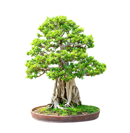 Banyan or ficus bonsai tree isolated on white background photo