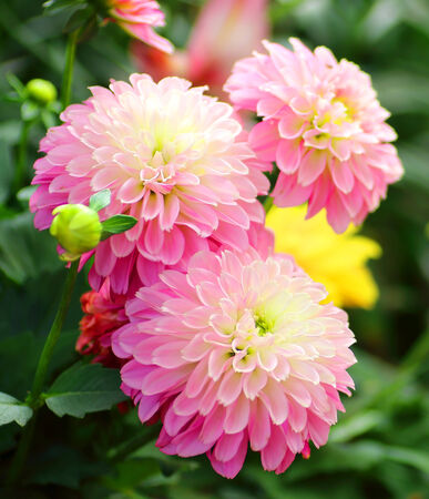 Pink Dahlias flower background Stock Photo
