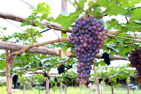 purple red grapes: purple red grapes with green leaves on the vine. fresh fruits Stock Photo