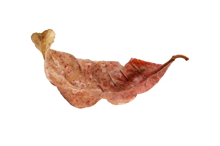 dry leaf: dry leaf isolated on white background.