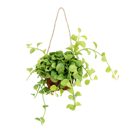 hanging basket plant isolated on white background Stock Photo