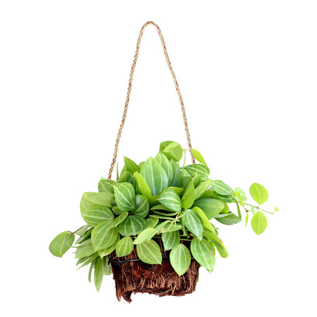 hanging basket plant isolated on white background Foto de archivo