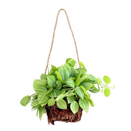 Pflanzen: hängenden Korb Pflanze isoliert auf weißem Hintergrund
