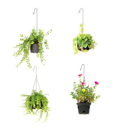 potted plant: hanging basket plant isolated on white background Stock Photo