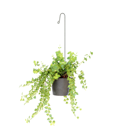 hanging basket plant isolated on white background Reklamní fotografie