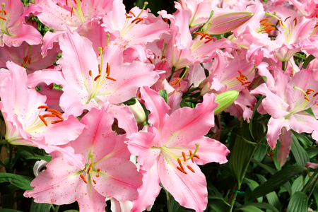 pink lily: pink lily flower garden Stock Photo