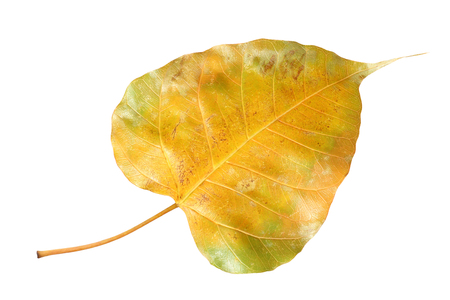 leaf vein: Yellow bodhi leaf vein isolated on white background