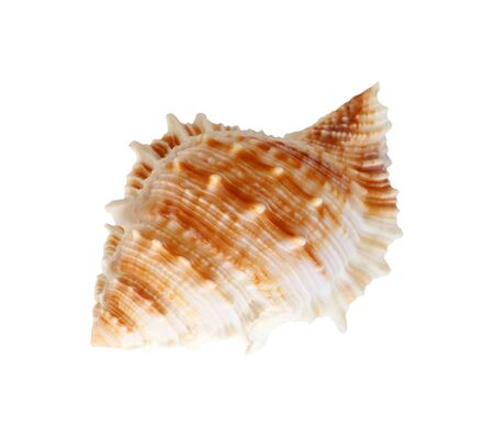 calcareous: Shell isolated on white background Stock Photo