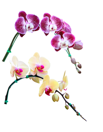 phal: Orchid Flower isolated on white background Stock Photo