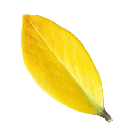 leaf vein: Yellow leaf vein isolated on white background Stock Photo